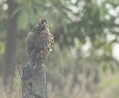 Pallid Harrier - Circus macrourus (juvenile) (amitbandekar) Tags: verna goa india circus macrourus harrier