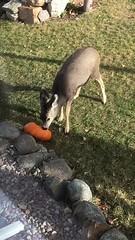 Pumpkin Eater.    Montana (montanatom1950) Tags: deer muledeer pumpkins helenamontana