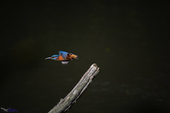 Kingfisher.(Adult Male). (spw6156 - Over 6,560,030 Views) Tags: kingfisheradult male iso 640a grabbed shot tad soft grr hard backlight from water copyright steve waterhouse summerwatch