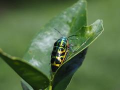 Scutellera amethystina (Japanese insects) Tags: heteroptera bug okinawa japan scutelleridae