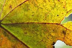 backlit leaf ~ HMM! (karma (Karen)) Tags: baltimore maryland home backyard leaf macros macromondays hmm backlit topf25