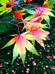 Rainbow In A Leaf (MoMontyMisty) Tags: leaves leaf acer japanese maple tree autumn autumnleaves japanesemaple tattonpark nationaltrust cheshire colour colourful rainbow mobarton bright palmate