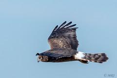 A Very Fly Girl (MelRoseJ) Tags: davis california unitedstates northernharrier birds yolobypass a77ii alpha autofocus sonyalpha sal70400g sony sonyilca77m2 nature