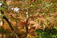 DSC02772 (MrSUIZOU) Tags: 京都 紅葉 北野天満宮 平野神社 十月桜