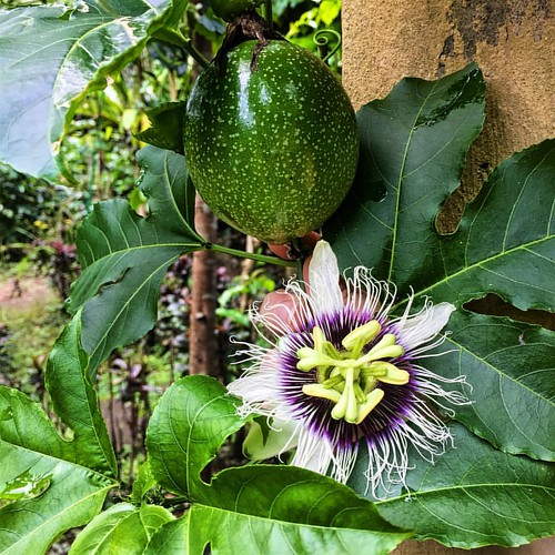 Passion comes in many forms, including these two in nature. • • #passionfruit #passionflower #livingacreatedlife #bali