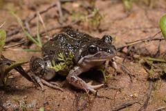 Limnodynastes tasmaniensis (benrevell86) Tags: spottedmarshfrog limnodynastes limnodynastestasmaniensis frogs australianfrogs