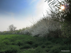 Sleedoorn te Astene Deinze (hugogravelpond) Tags: prunus spinosa deinze leie
