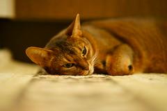 Lizzie tired (DizzieMizzieLizzie) Tags: portrait a7ii beautiful cat chats feline gato gatto katt katze katzen kot lizzie meow mirrorless pisica sony