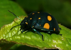 Pachycoris fabricii (Bio P.R.) Tags: scutelleridae pachycoris hemiptera cidra