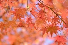 sunny autumn day (snowshoe hare*(slow)) Tags: 法金剛院 紅葉 もみじ momiji autumnfoliage fallfoliage hokongointemple kyoto 京都 dsc1030