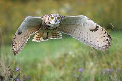 Great Horned Owl in flight (Jen St. Louis) Tags: greathornedowl inflight owl bokeh canadianraptorconservancy simcoe ontario canada birdsofprey bird captive raptor nikond750 nikon70200mmf28 jenstlouisphotography wwwjenstlouisphotographycom
