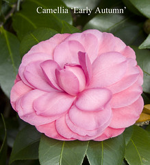 CamelliaEarlyAutumn21Oct15_1