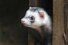 Profile of a peeking ferret (Tambako the Jaguar) Tags: ferret cute looking peeking opening profile portrait parcanimalier saintecroix park parc rhodes zoo france nikon d5