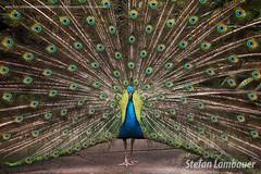 Pavão Azul (Stefan Lambauer) Tags: orquidário peacock faisão nature pavãoazul bird stefanlambauer santos sãopaulo brasil brazil 2016 br bluepeacock