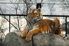 Photography school got me in the tiger cage (Maicdlphin) Tags: