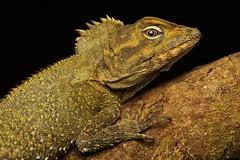 Southern Angle-headed Dragon (Mitch Thorburn) Tags: hypsilurus spinipes southern angle headed dragon springbrook national park gold coast hinterland nature wildlife seq