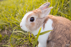 IMG_1631.jpg (ina070) Tags: animals canon6d cute grass outdoor outside pets rabbit rabbits