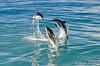 NZ 3513 - Nueva Zelanda - Kaikoura - Sperm Whale y Dusky dolphins (Jano Escuer) Tags: nuevazelanda oceanía