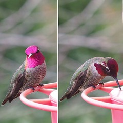 Iridescent hummingbird head (piranhabros) Tags: oregon eugene iridescence light refraction animal bird annashummingbird hummingbird