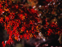 Red (Purple Field) Tags: bronica etrsi zenzanon 100mm f40 fuji velvia iso100 100f rvpf 35mm color film analog nagaokakyo kyoto japan autumn leaves walking medium  slr                zen canoscan8800f