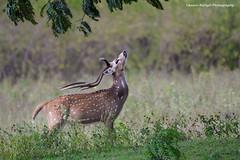 SPOTTED DEER (Asaru Kariyil Photography) Tags: deer spotteddeer wild wildlifephotography wildlife wildanimals karnataka india mammal mammals natural nature
