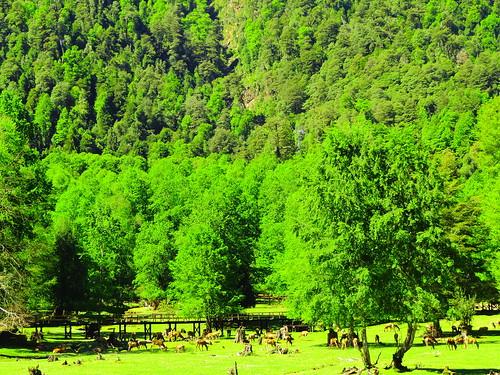 Deer breeding, Huilo Huilo