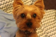 IMG_3268 (fschaub3) Tags: puppies puppy pets dogs yorkie shorkie pomchi