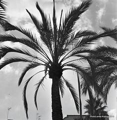 Palmera (Landahlauts) Tags: 120film 1970 400asa 6x6 analogcamera analogphotography bn bw blackandwhite blancoynegro camara camaraanalogica camarareflexdeobjetivosgemelos camera copalsv focallenght fotografia fotografiaanalogica grain iso40027 japaneselenses lumaxar madeinjapan markhama noise objetivo palmera photography plazadelaromanilla revelado takinglens tlr tomioka twinlensreflex twinlensreflexcamera usufructo viewfinder yashicamat yashicamat124g yashinon80mm rollo carrete