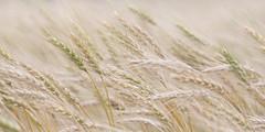 Oklahoma wheat, no fracking required (hz536n/George Thomas) Tags: 2008 cs5 oklahoma spring canon30d ef70200mmf4lusm wheat rural field summer grain perkins copyright