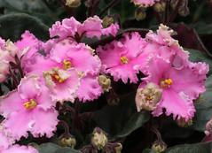 5-IMG_4769 (hemingwayfoto) Tags: berggartenhannover blhen blte blume flora floristik natur topfpflanze usambara usambaraveilchencurlyoceanrosebunt veilchen zierpflanze zuchtform