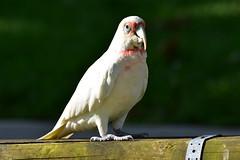 Long-billed Corella (Luke6876) Tags: longbilledcorella corella cockatoo parrot bird animal wildlife australianwildlife