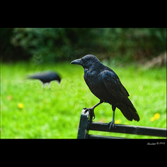 Corbac !!! (Alcosinus  On-Off ) Tags: alcosinus nikond700 square carre couleurs colors oiseau bird corbeau raven ecosse scotland meadowpark edinburgh