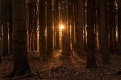 sunset in the forest (Bea Antoni) Tags: gold sunrays lichtstrahlen landscape landschaft canon light licht wald sonnenuntergang forest sunset
