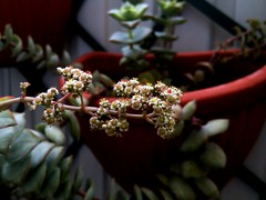 Crassula Perforata -Explored (hug0ncalves) Tags: photo photography succulent cactu crassulacea crassulaflowers crassulaperforata crassula perforata
