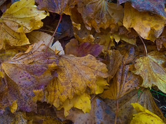 Autumn is over! (RS400) Tags: autumn leaves cool colours brown yellow floor ground wicked olympus south west wiltshire looking down westonbirt arboreturn
