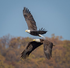 Mirroring (tresed47) Tags: 2016 201611nov 20161114conowingoeagles birds canon7d conowingo content eagle flightshot folder general maryland peterscamera petersphotos places takenby us ngc