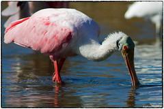 Roseate Spoonbill (RKop) Tags: caladesiislandstatepark raphaelkopanphotography florida a77mk2 600 600mmf4apogminolta sony