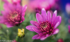 autumn bunch of light (frederic.gombert) Tags: flower flowers red pink light sunlight color colored colorful macro 105mm nikon d810 chrysantheme bunch blue