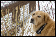 Such a connection.... (Exdeltalady) Tags: goldenretriever golden canine dog bestfriend snowfall winter fence ourdailychallenge connections
