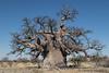 42-Botswana_2016 (Beverly Houwing) Tags: africa ancient baobab botswana desert islandoflostbaobabs kalahari makadigkadipans massive saltpan thick tree trunk