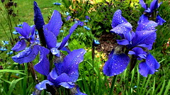 BLOWIN' in the WIND (Lani Elliott) Tags: nature naturephotography flowers flower iris siberianiris blue water waterdroplets homegarden