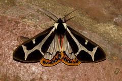 Erebidae: Arctiinae: Dysschema mariamne (Southern Giant Flag Moth) male 2 (K. Zyskowski and Y. Bereshpolova) Tags: mexico moth oaxaca erebidae arctiinae dysschema mariamne southern giant flag