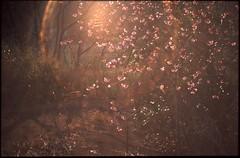 (bensn) Tags: pentax lx industar 50mm f35 film slide velvia 50 japan gunma flowers light flare