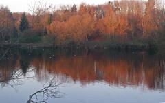 Fin d'AUTOMNE au parc des Ulis. Rougeoiement du soir. (jmsatto) Tags: lesulis essonne parc automne refletarbres etang