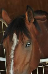 Blue Eyes (susanmbarlow) Tags: photograph delaware animal delawarepark equus horse equusferuscaballus arabian equidae equine equinephotography racehorse backside barnarea spookaa blue eyes