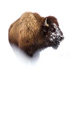 Bison (James Shooter) Tags: january wildlife winter mammal bisonbison yellowstone nature yellowstonenationalpark bison usa snow