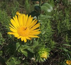 Grindelia papposa (Spanish Gold) (Turtlerangler) Tags: kansas asteraceae yellowflowers grindelia