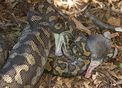 Jungle carpet python with baby common brushtail possum, Pallarenda, Townsville, QLD, 09/04/08 (Russell Cumming) Tags: mammal morelia snake queensland python townsville moreliaspilota commonbrushtailpossum pallarenda moreliaspilotacheynei