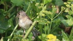 Linotte mlodieuse, Af (R, 2014-05-04_20) (th_franc) Tags: oiseau linottemlodieuse