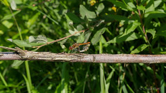Libellen bei der Paarung (ursula.kluck) Tags: natur panasonic insekten libellen macroaufnahme libellenbeiderpaarung lumixgx8